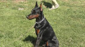 Hondras Doberman stock footage