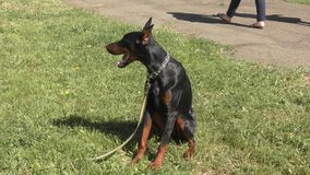 Hondras Doberman stock video