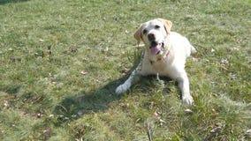 Hondras Labrador of golden retriever die op het groene grasgazon liggen Het huisdier volgt de beweging van de camera stock video