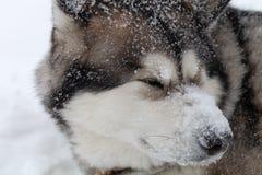 Hondras Malamute Van Alaska op een sneeuw stock foto