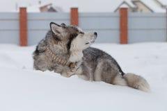 Hondras Malamute Van Alaska op een sneeuw stock afbeeldingen
