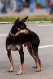 Hondras Manchester Toy Terrier royalty-vrije stock foto's