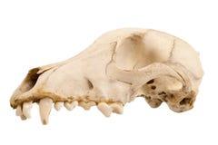 Honds hondschedel Royalty-vrije Stock Afbeeldingen