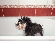 Hondschokken weg, schnauzer in badkamers na douche stock fotografie