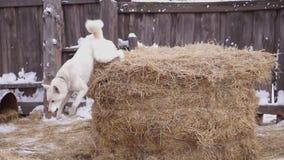 Hondschorsen bij het landbouwbedrijf husky waakhond stock video