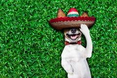 Hondsiësta Stock Foto