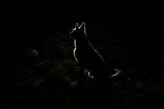 Hondsilhouet bij nacht royalty-vrije stock afbeeldingen