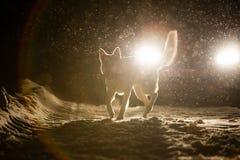 Hondsilhouet in de koplampen royalty-vrije stock foto's