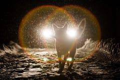 Hondsilhouet in de koplampen stock foto