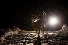 Hondsilhouet in de koplampen stock afbeeldingen