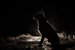 Hondsilhouet in de koplampen stock afbeelding