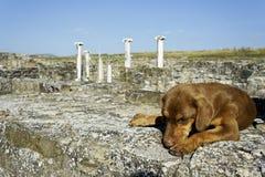 Hondslaap in archeologische plaats Stobi, R macedonië royalty-vrije stock afbeelding