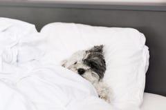 Hondslaap in bed Stock Foto's