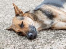 Hondslaap op cementvloer Royalty-vrije Stock Foto's
