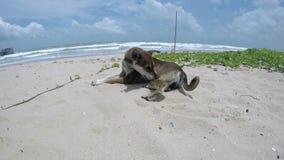 Hondslaap op strand stock videobeelden