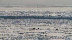 Hondslee op het ijs van de Noordzee in werking die wordt gesteld die stock footage