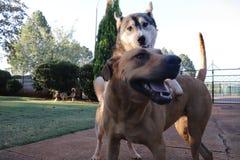Hondspeeltijd met Husky On Top Of Ridgeback royalty-vrije stock afbeeldingen