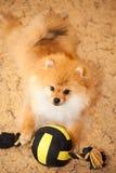 Hondspitz puppy die op de vloer met een stuk speelgoed liggen. Stock Foto