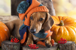 Hondtekkel in hoed Royalty-vrije Stock Foto's