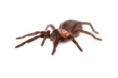 Honduran Curlyhair tarantula Royalty Free Stock Image