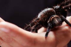 Honduran Curlyhair Tarantula na ręce Obrazy Stock