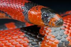 Honduran milk snake / Lampropeltis triangulum hondurensis. The coral snake mimicking milk snake is a snake eating non venomous snake native to Honduras,Costa stock image