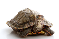 Honduran Wood Turtle Royalty Free Stock Photos