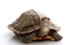 Honduran Wood Turtle. (Rhinoclemmys pulcherrima incise) isolated on white background Royalty Free Stock Photos