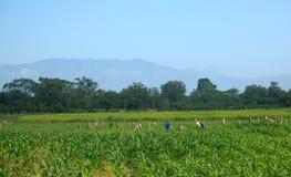Honduranische Arbeitskräfte auf dem Gebiet Stockfotografie