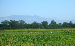 Honduranska arbetare i fält Arkivbild