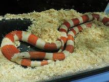 Honduranskt mjölka ormen fotografering för bildbyråer