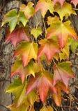 Hondwijn op een omheining in de herfstkleuren royalty-vrije stock fotografie