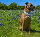 Hondzitting alleen op een gebied van Bluebonnets stock fotografie