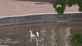 Hondzitting in de pool stock video