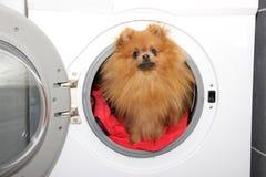 Hondzitting in een wasmachine Pomeranian oranje spitz op witte achtergrond wasserij Stock Foto