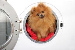 Hondzitting in een wasmachine Pomeranian oranje spitz op witte achtergrond wasserij Stock Foto's