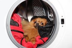 Hondzitting in een wasmachine Pomeranian oranje spitz op witte achtergrond wasserij Stock Afbeeldingen