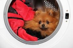 Hondzitting in een wasmachine Pomeranian oranje spitz op witte achtergrond wasserij Royalty-vrije Stock Fotografie