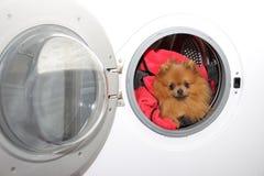 Hondzitting in een wasmachine Pomeranian oranje spitz op witte achtergrond wasserij Royalty-vrije Stock Foto's