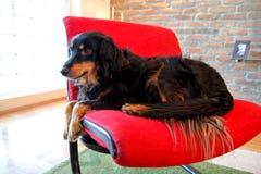 hondzitting op rode stoel De gemengde rassenhonden rust Stock Afbeeldingen