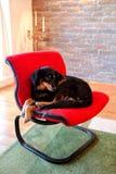 hondzitting op rode stoel De gemengde rassenhonden rust, leggen Stock Afbeelding