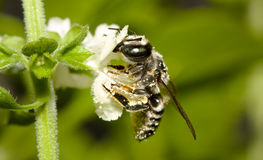 Honebee. Macro of a Honey Bee on a Mint Flower Stock Images