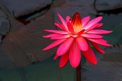 Honeby been a large pink water lily royalty free stock photography