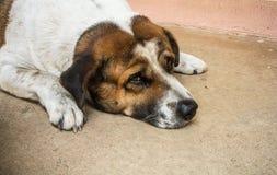 Honesty dog royalty free stock photo