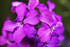 Honesty flowers. Purple honesty flower close up stock photography