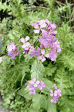 Honesty flowers & seeds - Lunaria annua Royalty Free Stock Photography