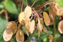 Honesty lunaria seed pods. Photo of honesty lunaria annua seed pods in forest setting Stock Photo