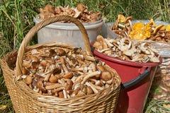 Honey agarics Royalty Free Stock Image
