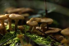 Honey agarics. Forest mushroom. Royalty Free Stock Photo