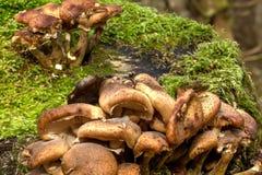 Honey agarics. Forest mushroom. Royalty Free Stock Image